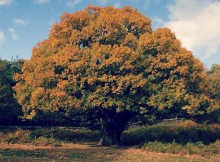 Facts-About-Oak-Wood
