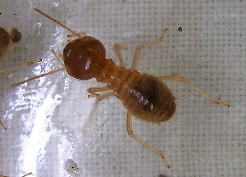 Termite Soldier Types The Type of Termites That