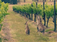 Kangaroo-wine