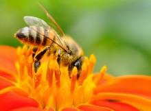 manuka-honey