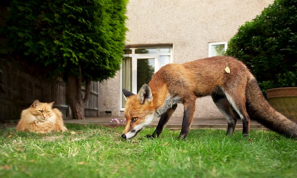 fox and cat on the grass