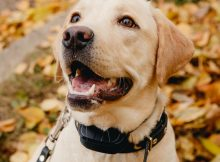 dog wearing a bark control device
