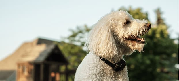 white dog wearing a bark control device